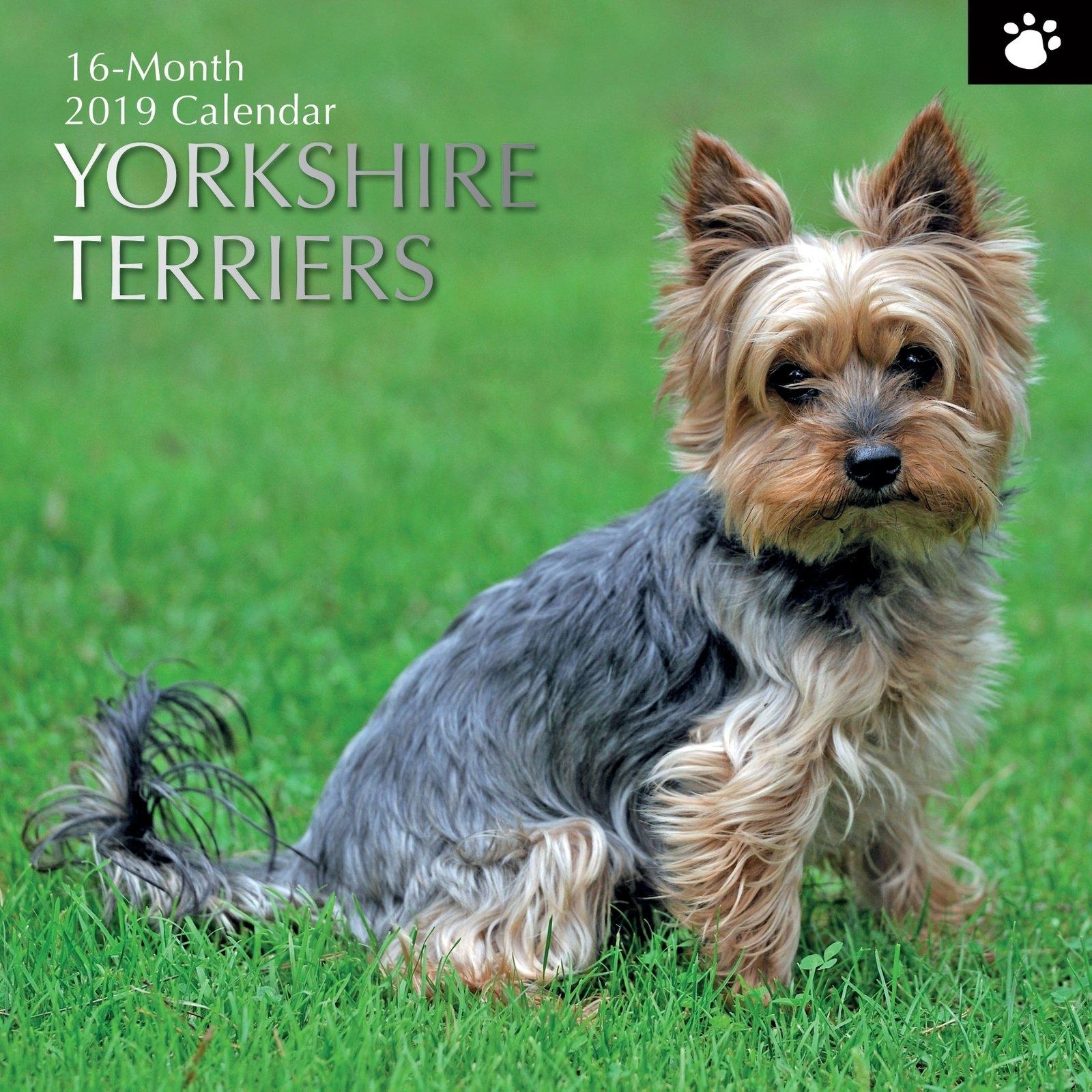Yorkshire Terriers – 2019 Wall Calendar 16 Month Premium Square Calendar 2019 Yorkshire