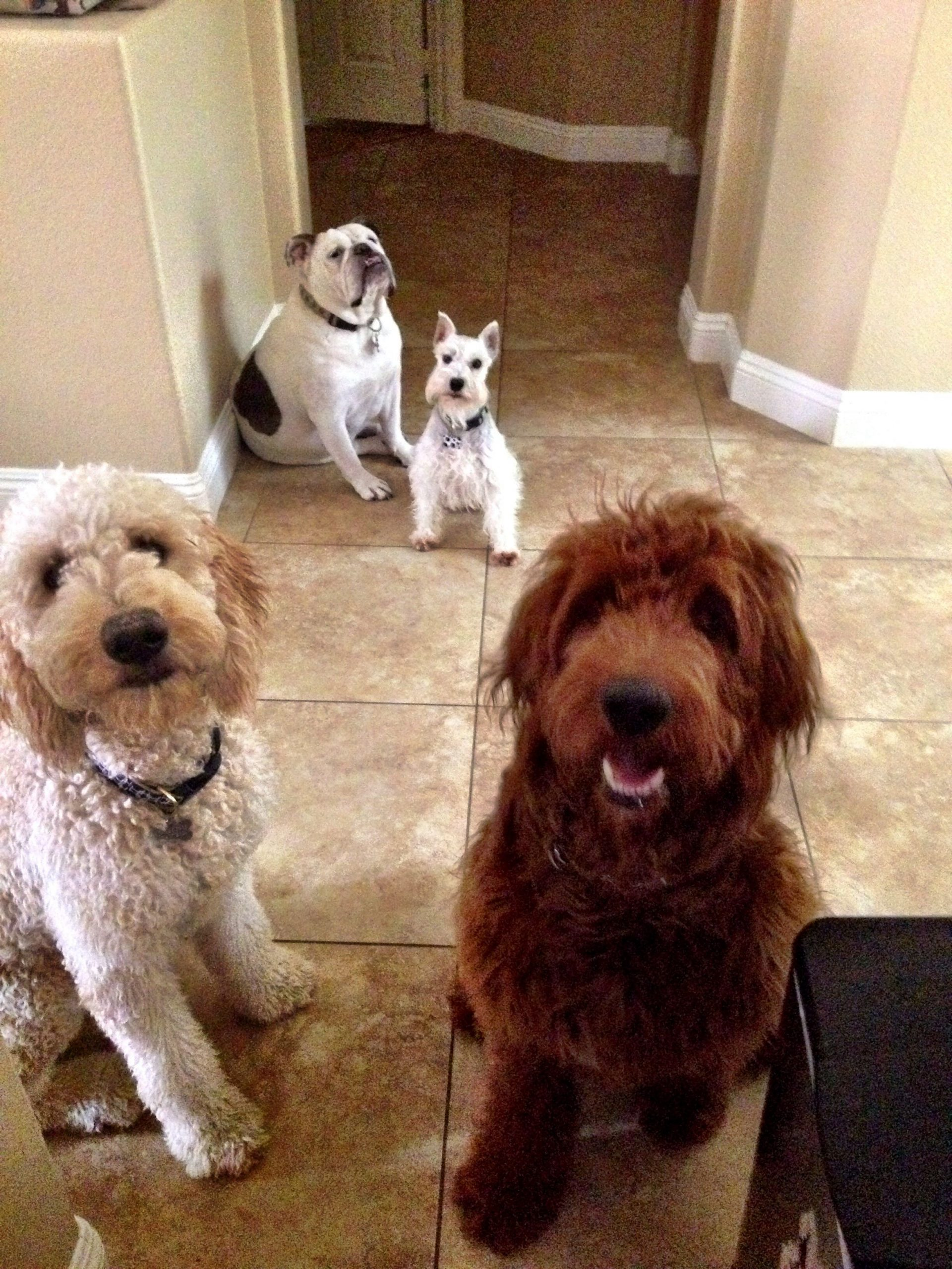 The Brat Pack @Hendrix The Doodle #Goldendoodles# Baby Due Date Doodle Poll