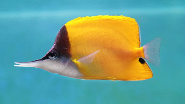 Waikīkī Aquarium » Forceps Butterflyfish Hawaiian Fishing And Planting Calendar