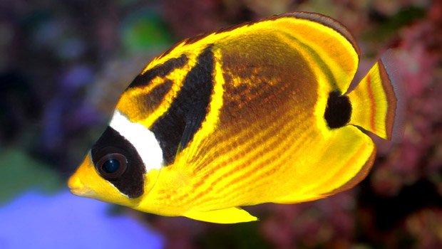 Waikīkī Aquarium » Raccoon Butterflyfish Hawaiian Fishing And Planting Calendar