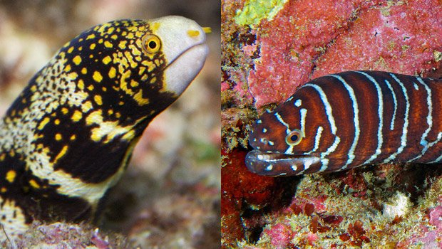 Waikīkī Aquarium » Snowflake And Zebra Moray Hawaiian Fishing And Planting Calendar