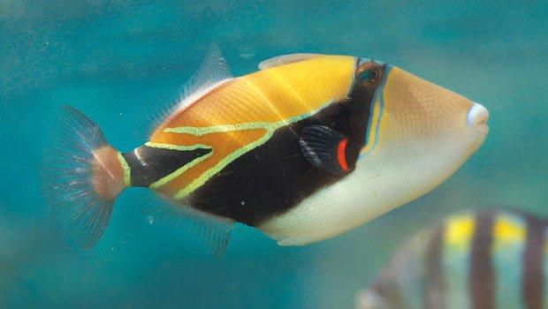 Waikīkī Aquarium » Reef Triggerfish Hawaiian Calendar Fishing And Planting